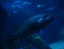 Blue cichlid Royalty Free Stock Photo