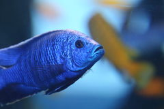 Blue Cichlid. A blue cichlid swimming in an aquarium Royalty Free Stock Photography