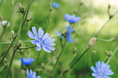 Blue cichorium flowers in the field stock photo