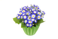 Blue cineraria in a green flower pot. Stock Photo