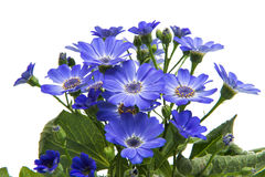 Blue cineraria isolated Royalty Free Stock Photos
