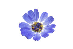Blue cineraria isolated Royalty Free Stock Photo
