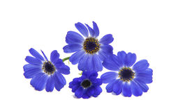 Blue cineraria isolated Royalty Free Stock Image
