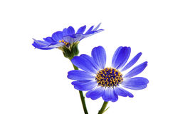 Blue cineraria isolated Stock Images