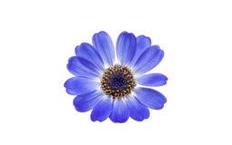 Blue cineraria isolated Stock Photos
