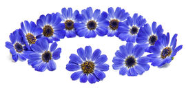 Blue cineraria isolated Stock Image