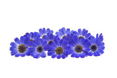 Blue cineraria isolated Royalty Free Stock Photography