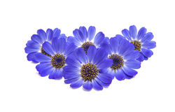 Blue cineraria isolated Royalty Free Stock Images