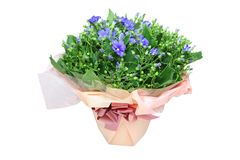Cineraria putting up wrapped flowerpot. Blue Cineraria putting up wrapped flowerpot royalty free stock image