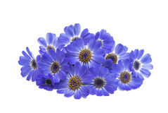 Blue cineraria  Royalty Free Stock Photography