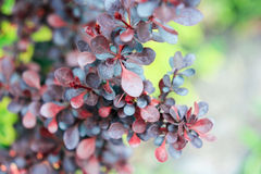 Blue-claret leaves of a barberry berry Stock Photos