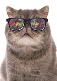 Blue classic tabby exotic shorthair with raving glasses Royalty Free Stock Image
