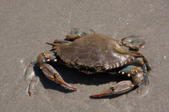 Blue Claw Crab Stock Photos
