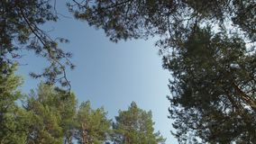 Blue clear sky visible through trees high up top - Latvia pine trees stock video footage
