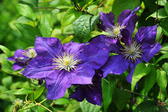 Free Blue Clematis Royalty Free Stock Image - 15749136