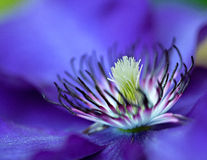 Blue Clematis Stock Photo