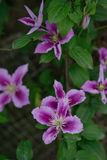Blue Clematis alpina. Flower blooming Royalty Free Stock Image
