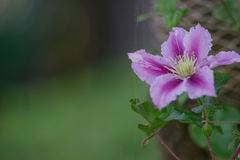 Blue Clematis alpina. Flower blooming Stock Photography
