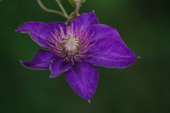 Blue Clematis alpina. Flower blooming Royalty Free Stock Photos