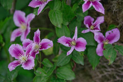 Blue Clematis alpina. Flower blooming Stock Images