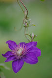 Blue Clematis alpina. Flower blooming Royalty Free Stock Photo