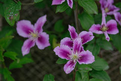 Blue Clematis alpina. Flower blooming Royalty Free Stock Images