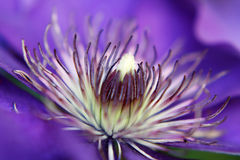Blue clematis Stock Images