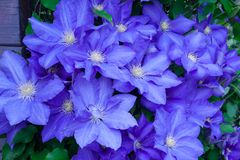 Blue clematis Royalty Free Stock Photography