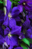Blue clematis Royalty Free Stock Image