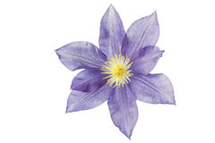 Blue Clematis flower, isolated on white Royalty Free Stock Images