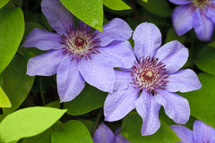 Blue clematis flowers Stock Photography