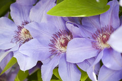 Blue clematis flowers Royalty Free Stock Photo