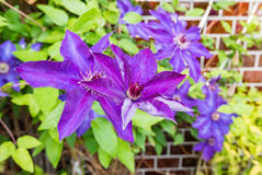 Clematis. Blue Clematis flowers Stock Images