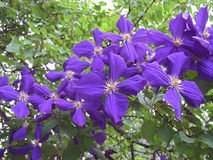 Purple flowers of Clematis against green outdoors royalty free stock images