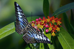 Blue Clipper Butterfly Royalty Free Stock Photo