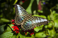 Blue Clipper butterfly Stock Images