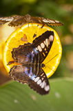 Blue Clipper Parthenos sylvia lilacinus Stock Photos