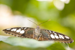 Blue Clipper Parthenos sylvia lilacinus Stock Images
