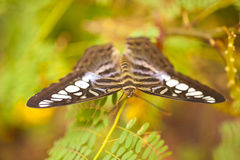 Blue Clipper Parthenos sylvia lilacinus Royalty Free Stock Photo