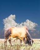 Blue clouds cow Thailand Stock Photography