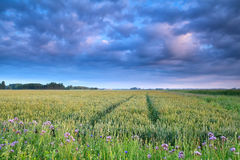 Blue clouds over wheat field Royalty Free Stock Images