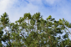 Blue, cloudy sky above a pine tree in the morning Stock Image