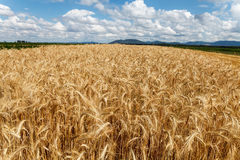 Blue cloudy sky over field of grain. Blue cloudy sky over wide field of grain royalty free stock photo