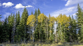 Blue cloudy sky and yellos aspens in nature Royalty Free Stock Photos