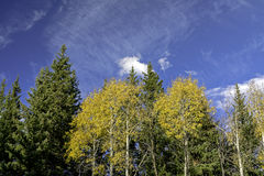 Blue cloudy sky and yellos aspens in nature Stock Image