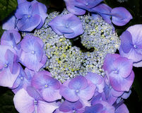 Blue cluster of garden flowers. Small blue garden flowers cluster macro Royalty Free Stock Images