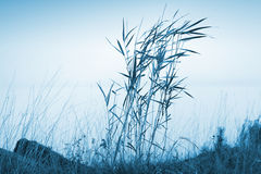 Blue coastal landscape with reed Stock Photos
