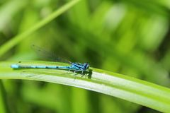 Blue Coenagrion scitulum on green grass leave from side, macro p. Hoto stock images
