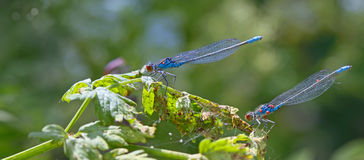 Blue Coenagrionidae in forest Stock Photo