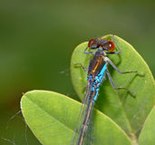 Blue Coenagrionidae on leaf Stock Photo